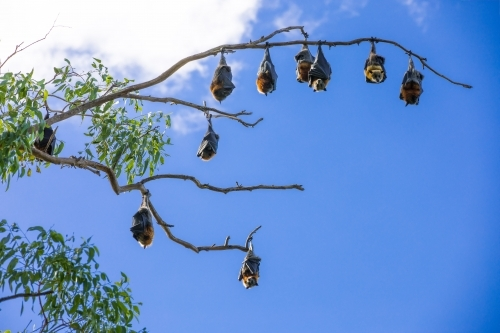 10 fruit bats hanging out in a tree across a blue sky