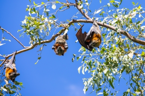 3 fruit bats hanging out in a tree