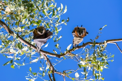 Two fruit bats hanging in a tree looking down at camera