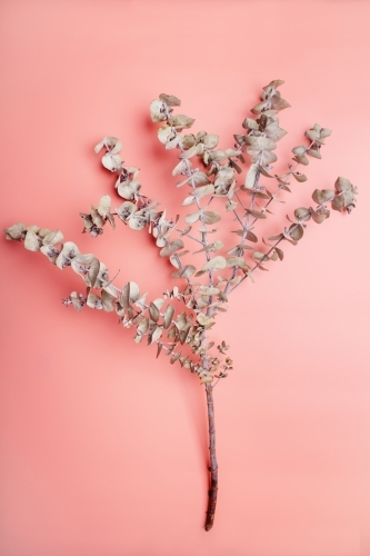 Overhead view of eucalyptus branch on coral pink background