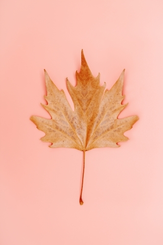 Single autumn leaf on a simple pastel coral pink background