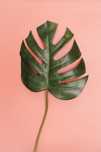 Single monstera palm leaf on coral pink background