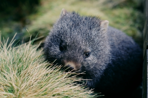 A baby wombat in long grass