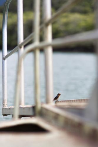 A bird sits on the deck of a wild life cruise along the Daintree river.
