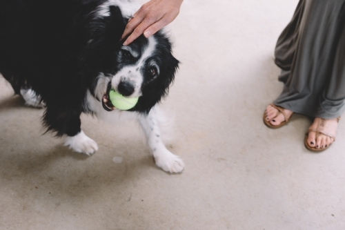 A black and white dog with a yellow tennis ball in its mouth being patted by a woman