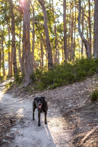 A black labrador stands on a walking track in a bush setting