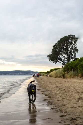 A black labrador trots along Nutgrove beach in Sandy Bay