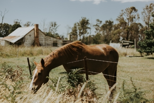 A brown horse in a paddock, leaning its head over a barbed wire fence to eat grass on the other side