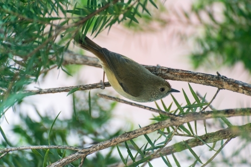 A Brown Thornbill searching for insects in a paperbark tree