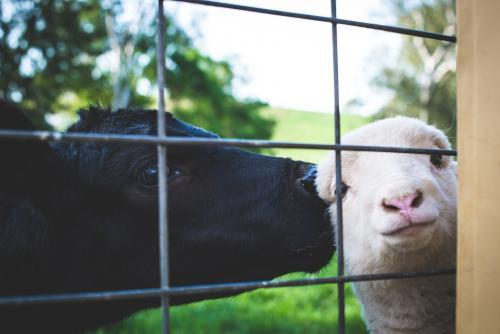 A calf & lamb peering through a gate