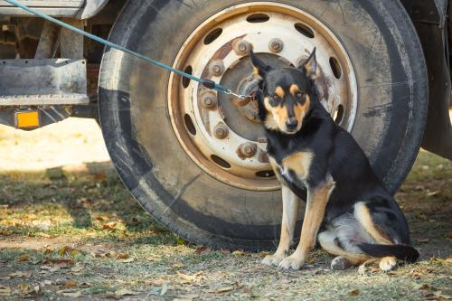 A cattle dog on a lead beside a truck wheel