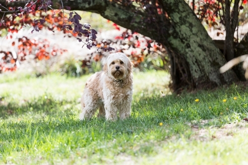 A cavoodle in a park under a tree