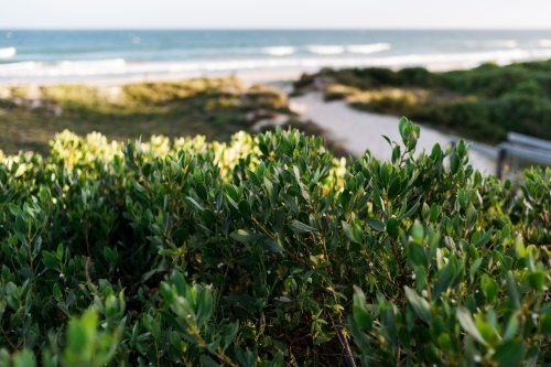 A close up of green leaves of a beach plant, the entrance of the beach blurred in the background.