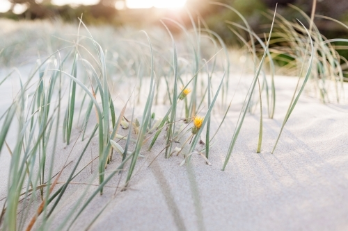 A close up of green marram grass and two yellow flowers, spread over soft sand dunes