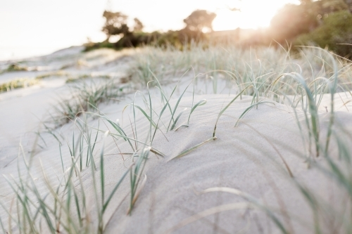A close up of green marram grass growing in soft sand dunes at sunset.