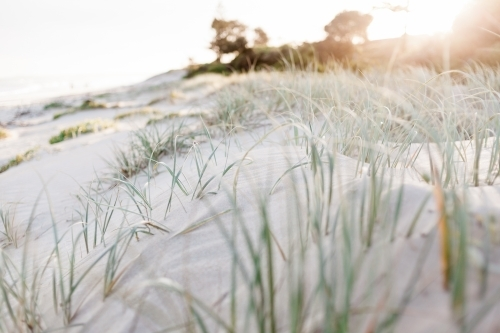 A close up of green marram grass spread over soft sand dunes as the sun sets in the background