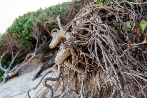 A close up of tangled tree roots of a beach tree planted in sand dunes.