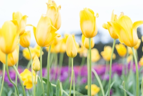 A field of yellow tulips close up