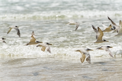 A flock of Crested Terns flying low over the sparkling incoming waves