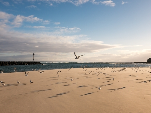 A flock of seagulls taking flight off a sandy beach