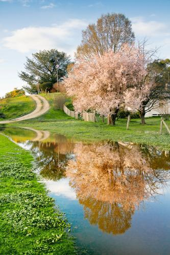 A fruit tree in full blossom reflected in a large puddle