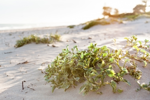 A green, leafy plant sits in a small, soft sand dune, with warm sun flare in the background.