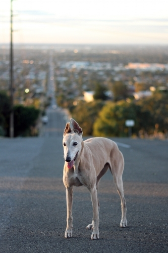 A greyhound standing on the road