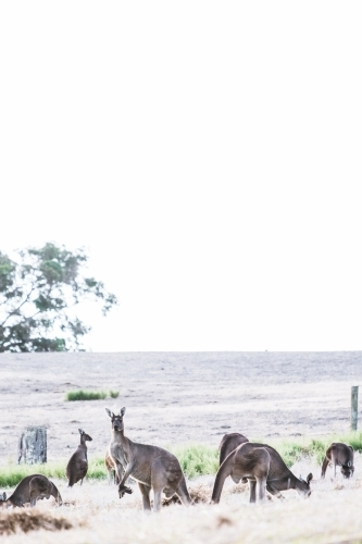 A group of kangaroos feeding in a field with one looking at the camera