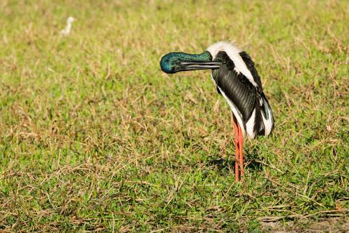 A Jabiru preening itself