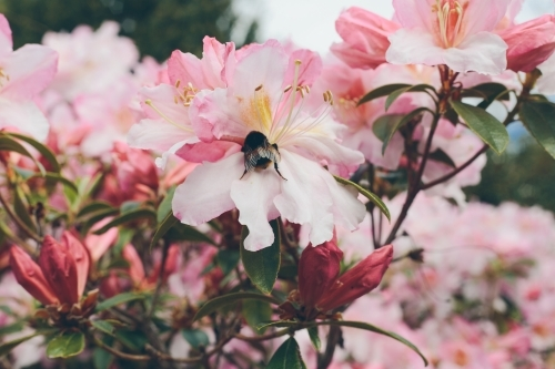 A large bumblebee on a light pink rhododendron flower