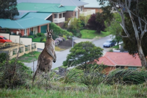 A large male kangaroo standing tall with a new suburb behind it