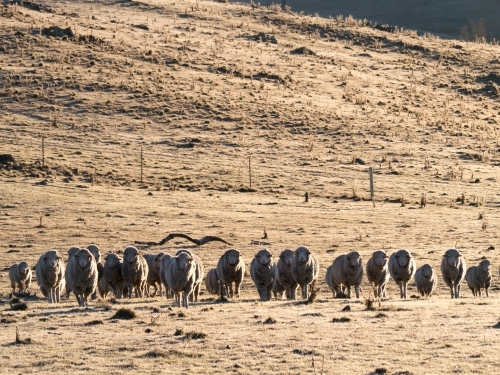 A line of sheep in a frosty paddock