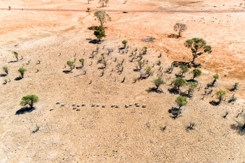 A mob of sheep in drought.