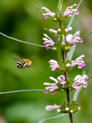 A native Blue Banded Bee in flight with pink flowers and blurred green background