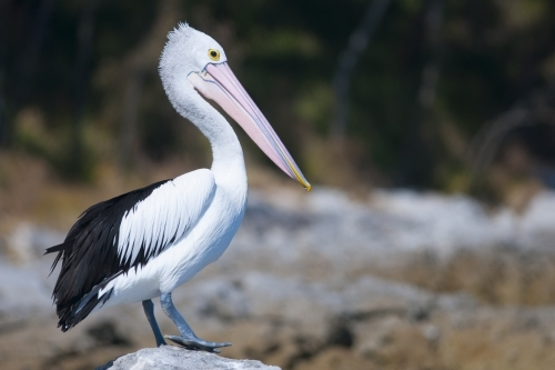 A Pelican standing on a rock with a blurred background