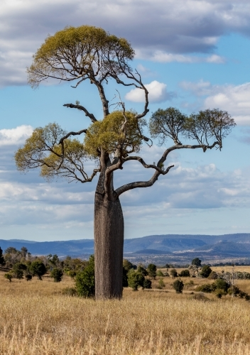 A Queensland Bottle Tree (Brachychiton rupestris) towering over the countryside