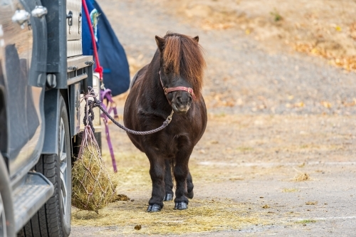 A shetland pony tied up to the back of a truck