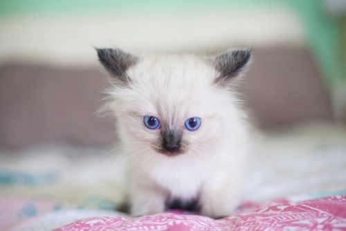 A small ragdoll kitten sitting on a bed.
