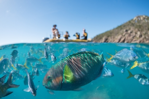 A split shot of a group of snorkelers on a boat and a parrot fish underwater