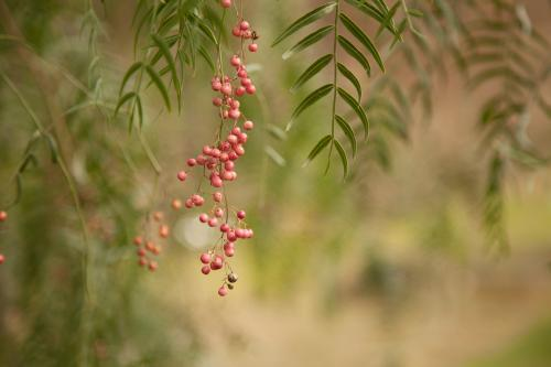 A spray of pink peppercorns hanging from a green peppercorn tree