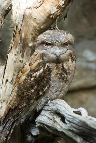 A Tawny Frogmouth on a Tree Branch