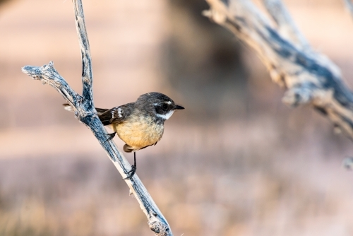 A tiny Mangrove Grey Fantail sitting on a stick above blurred out background