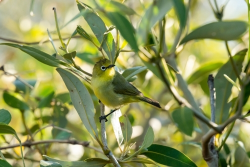 A tiny Yellow White-eye bird camouflages well amongst the mangroves