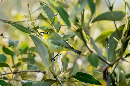 A tiny Yellow White-eye bird in amongst the mangrove leaves
