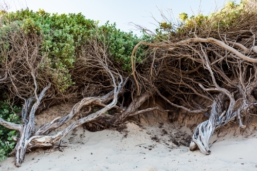 A wide view of tangled trees of beach trees with green leaves, planted in sand dunes.