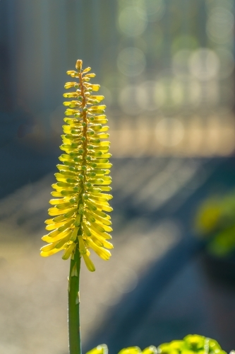 A yellow bloom of a red hot poker plant