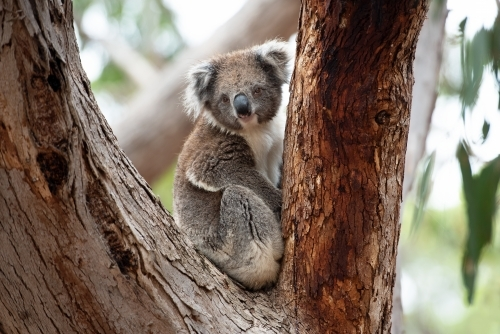 Adult curious koala in gum tree fork