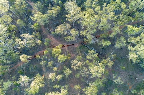 Aerial view of cattle walking among forest trees.