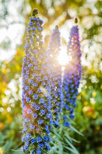Afternoon sunlight shining through purple flowers of an echium plant