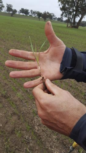 Agronomist checking the development of a young wheat plant
